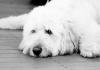 Köpeklerde pankreatitis ile mücadele