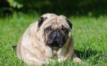 Köpeğinizi obeziteden koruyun!