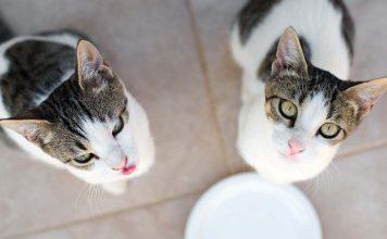 Kedilere neden süt verilmemelidir?