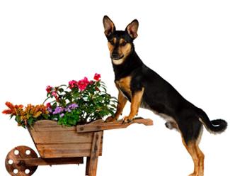 Köpekler yeşili, yeşillikleri çok severler fakat onlar için ne zararlı bilmezler.