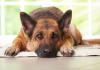 Yerler köpeğiniz için çok mu kaygan?