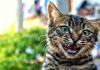 Bir garip kedi mırlaması...