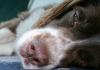 Köpekler nasıl ağlar?