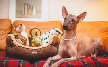 Koruyucu köpekler hakkında bilmeniz gerekenler...
