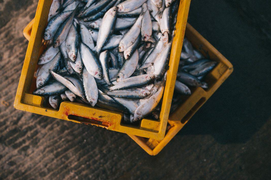 Köpekler balık yiyebilir mi?
