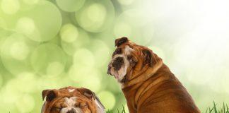 Köpeğim neden diğer köpeklerin arkasını kokluyor?