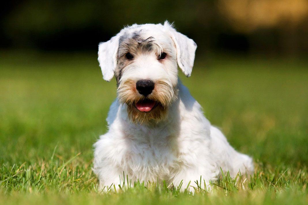 Köpekler nöbet geçirir mi?
