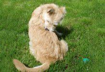 Köpeklerde atopik dermatitis