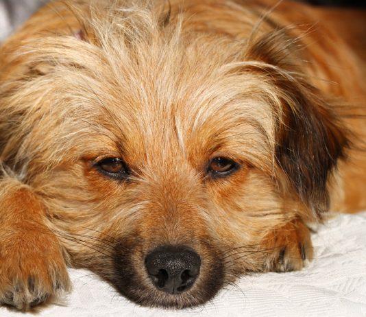 Köpeklerde göz kuruluğu