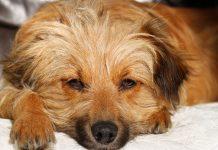 Köpeklerde hemanjiyosarkom