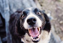 Köpeğimin sesi kısıldı, bu normal midir?