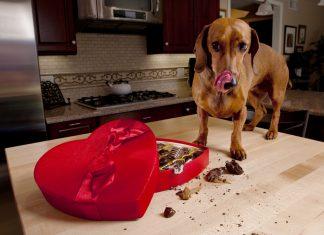 Köpekler çikolata yiyebilir mi?