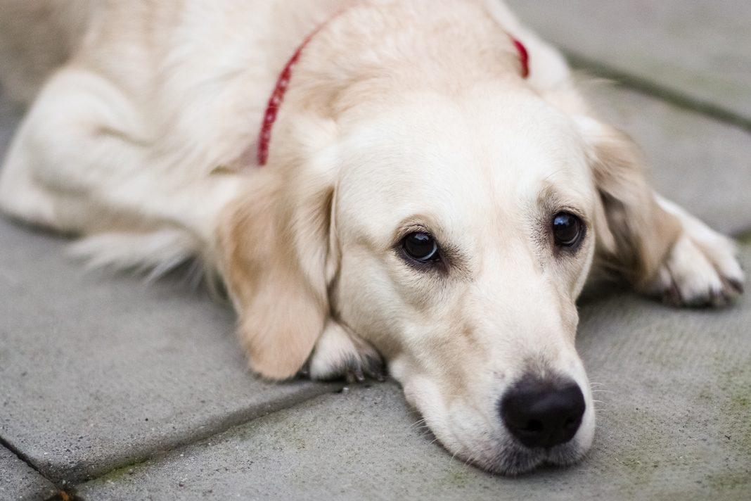 Köpeklerde pyometra