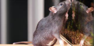 RightPet anketine göre sıçanlar ilk sırada!