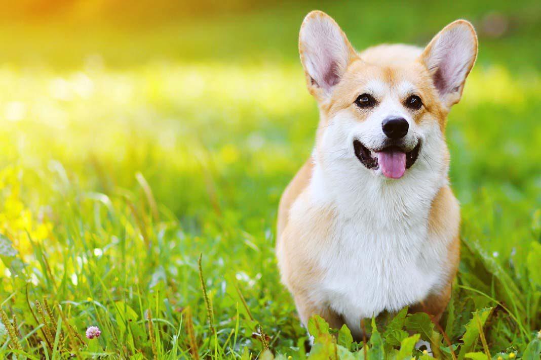 Köpekler neden çim yer?