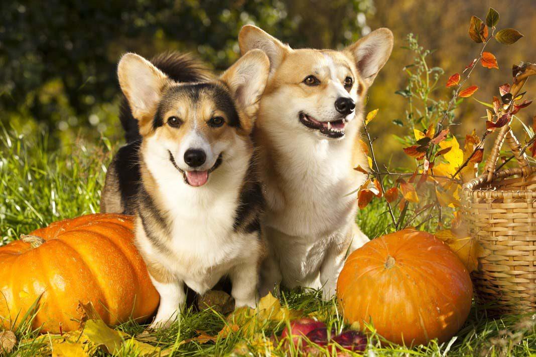 Kabağın köpeklere birçok faydası var!