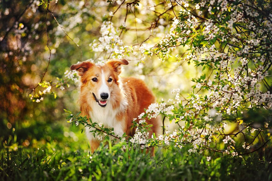 Köpeklerde bahar alerjisi...