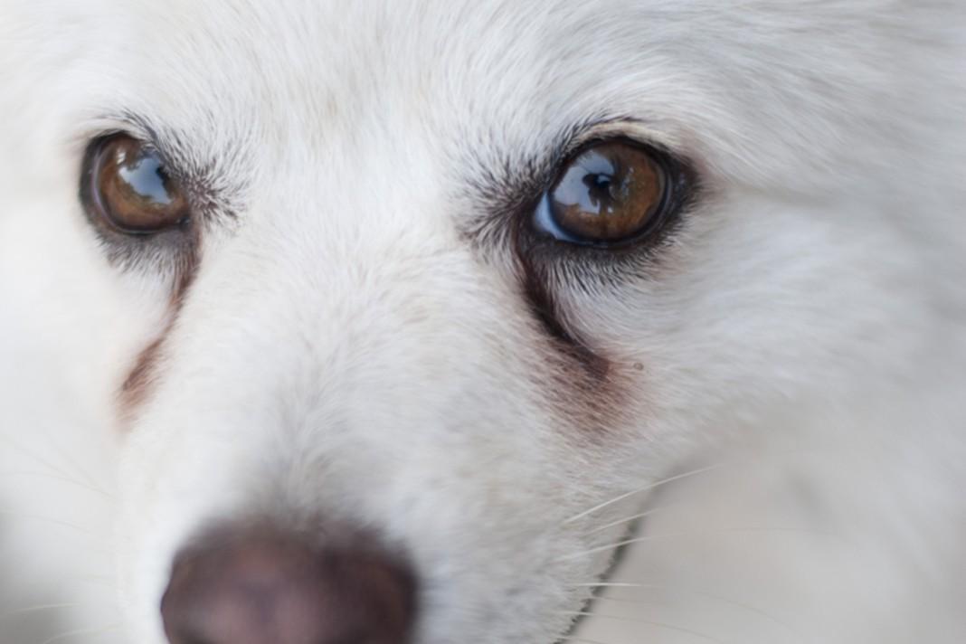 Köpeklerde göz yaşı lekeleri