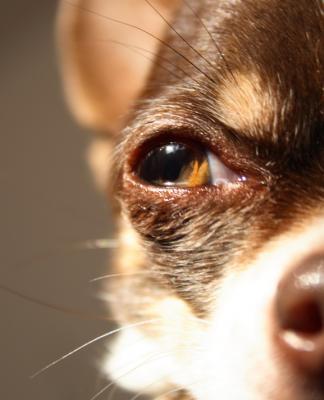 Köpeğim kör olabilir mi?