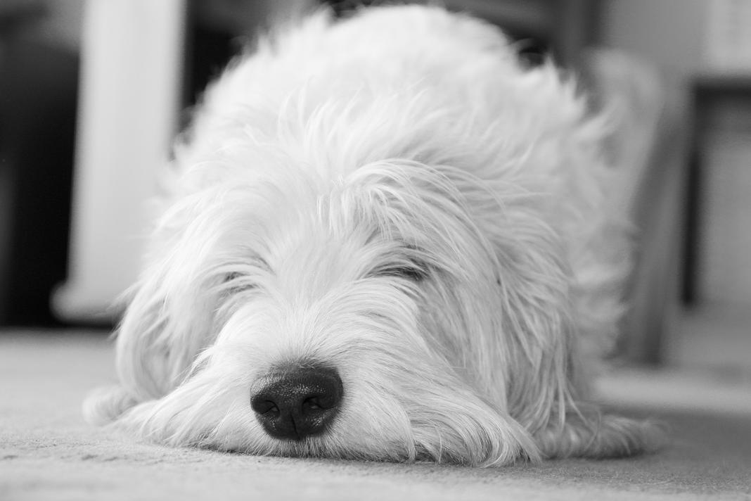Köpekler kaç saat uyur?