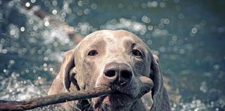 Bütün köpekler yüzebilir mi?