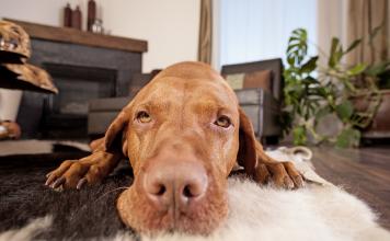 Köpeğiniz sürekli kayıp düşüyorsa...