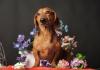 Dikkat edilmesi gereken hastalık; köpeklerde eclampsia