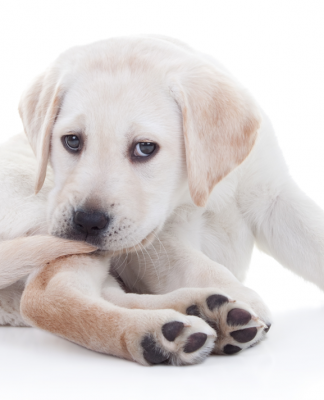 Köpekler neden kuyruklarını yakalamaya çalışır?