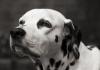 Köpeklerde önemli bir kalp hastalığı; DCM