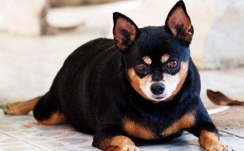 Petlerde obezite ile mücadele