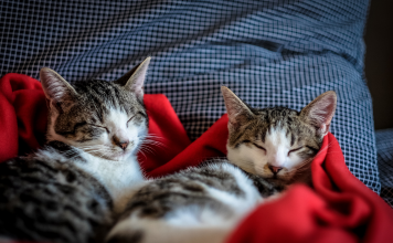 Kedilerin horlaması normal midir?