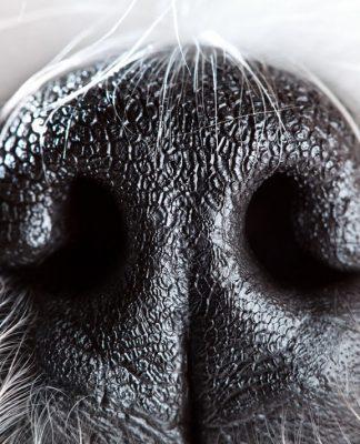 Köpeğimin burnu neden ıslak?