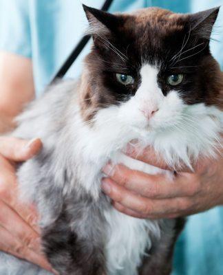Kedilerde hızlı solumaya dikkat!