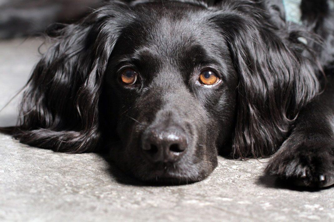 Köpeklerde idrar yolu enfeksiyonu