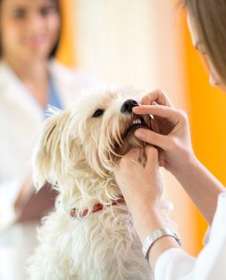 Yavru köpeklerde diş değişimi