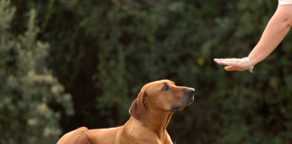 Sağır köpeklerde eğitim