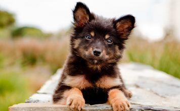 Köpeklerde Kennel Cough hastalığı