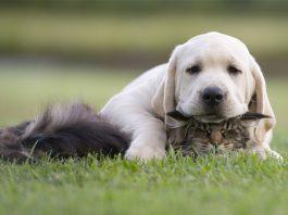 Köpeklerde kalp kurdu (Dirofilariozis)