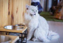 Kısırlaştırılan kedilerde beslenme