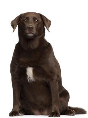 Köpeklerde obezite