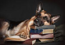 Köpeklerde Alzheimer hakkında her şey!
