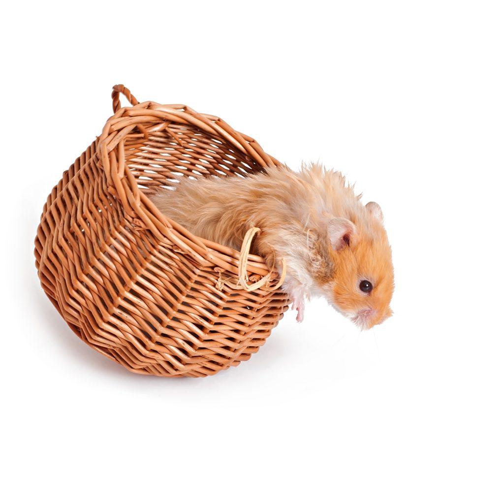 Hamsterlar saklanmayı çok severler